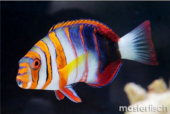 Harlekin-Lippfisch (Australien)