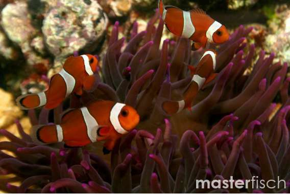 Falscher Clownfisch (Nachzucht)