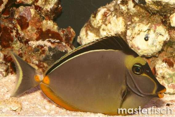 Kuhkopf Doktorfisch